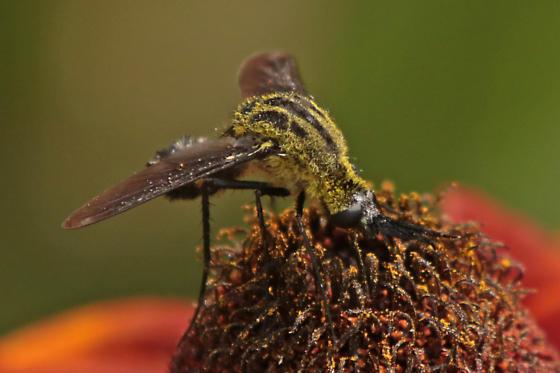 Lepidophora lutea