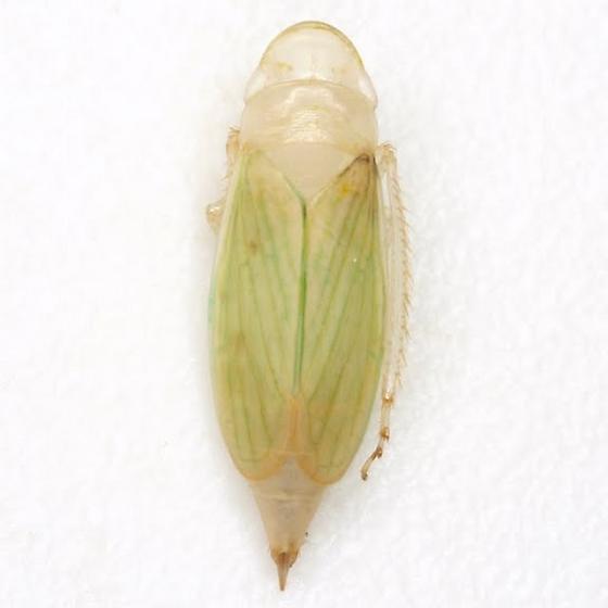 Hecalus - female