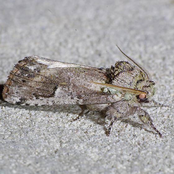 Schizura errucata - male
