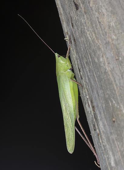 Conehead in Louisiana - Neoconocephalus - female