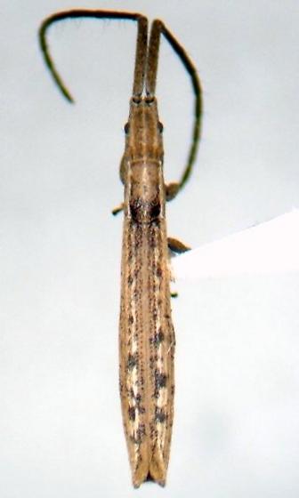 Spalacopsis filum rostulatum - Spalacopsis filum