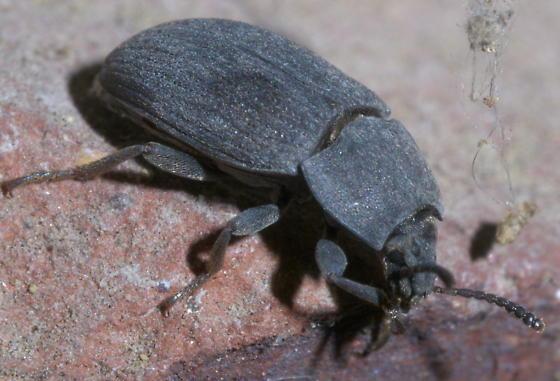 Gray beetle with short hairs - Blapstinus fortis