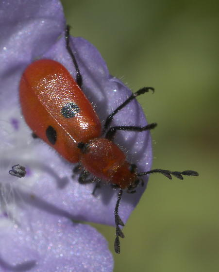 Small red beetle with two black spots - Pelonides quadrinotata