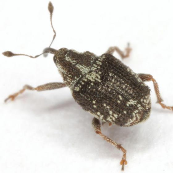Ceutorhynchus mutabilis group? - Ceutorhynchus