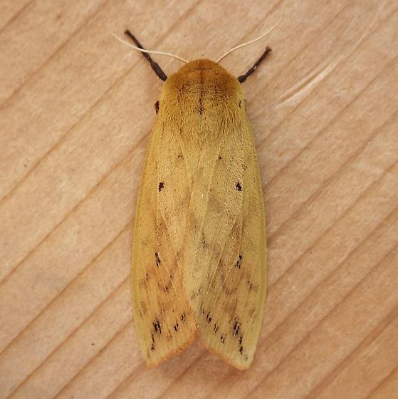 Erebidae: Pyrrharctica isabella - Pyrrharctia isabella