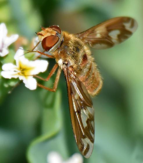 paler large bee fly - Poecilanthrax willistonii