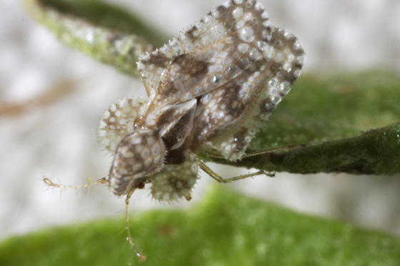 Corythucha of somekind? - Corythucha morrilli