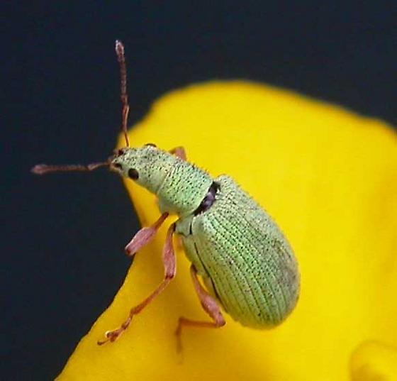 green weevil - Polydrusus impressifrons