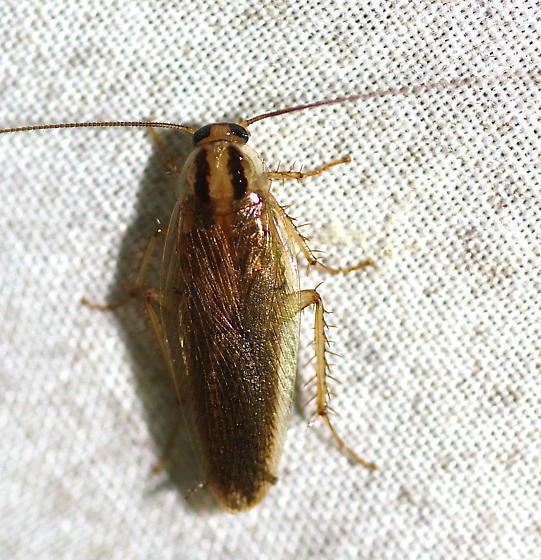 German Cockroach? - Blattella asahinai