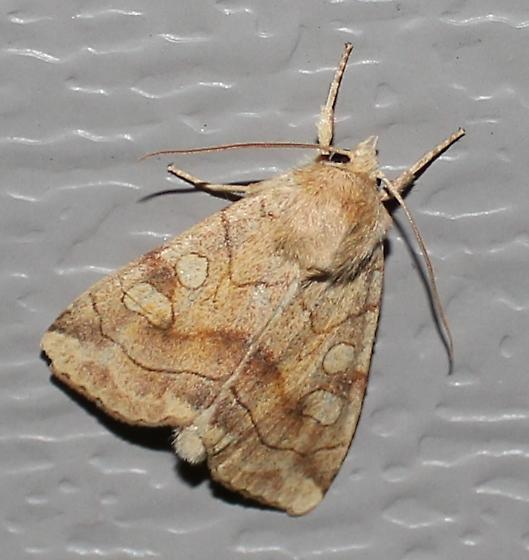 Pale Enargia - Hodges#9549 - Enargia decolor