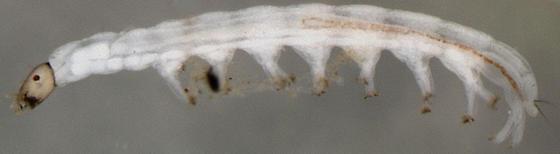 tiny larva - Nymphomyia