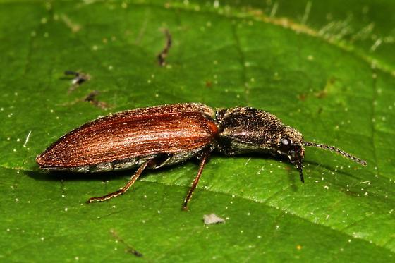 Small Click Beetle - Limonius