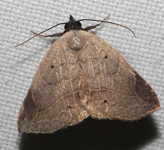 Isogona Moth - Isogona segura