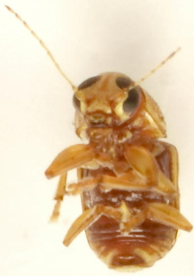 907W02 - Pachybrachis pusillus - male