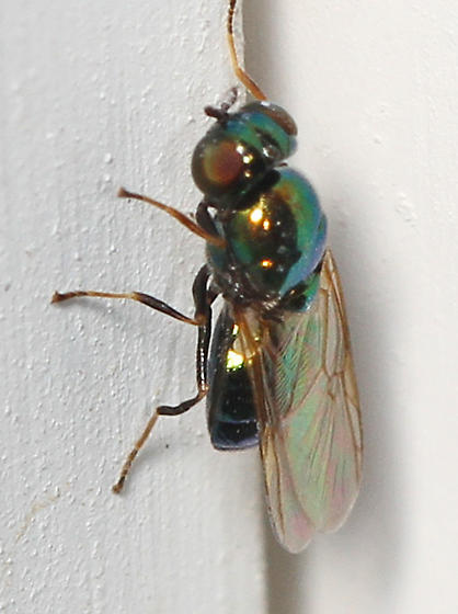 small fly that reflects a blue-green color - Soldier Fly? - Microchrysa polita