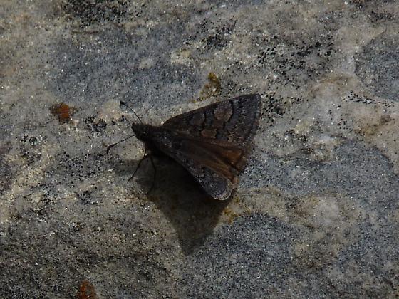butterfly - Erynnis brizo - female