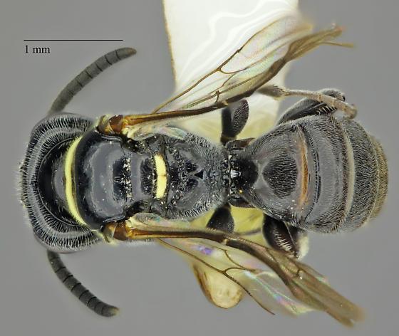 Hymenoptera - Bothynostethus