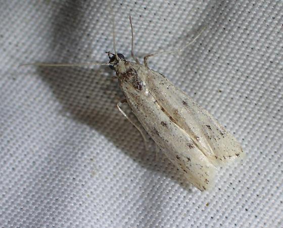 Moth - Sosipatra rileyella