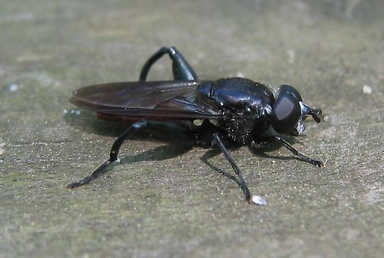 Fly - Chalcosyrphus chalybeus