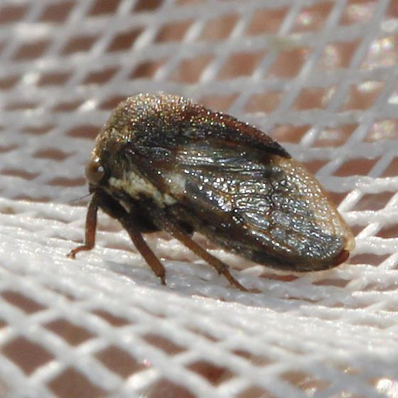 Membracidae, I think