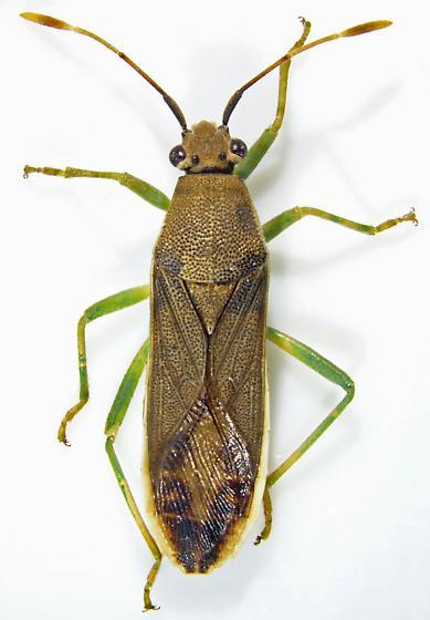 Catorhintha flava Fracker - Catorhintha flava - female