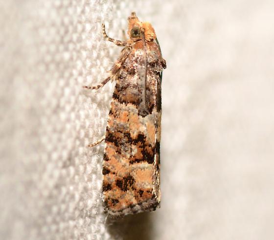 White Pine Cone Borer, 3074 - Eucopina tocullionana