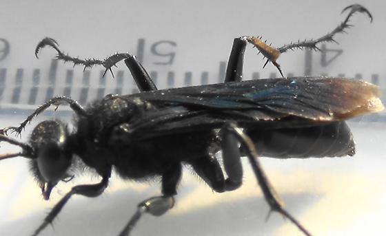 Thread-waisted Wasp Segmented (legs) - Prionyx - male