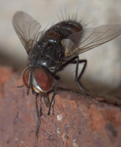 Black and brown, hairy fly - Winthemia - male