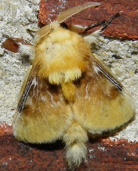 Southern Flannel Moth - Megalopyge opercularis - male