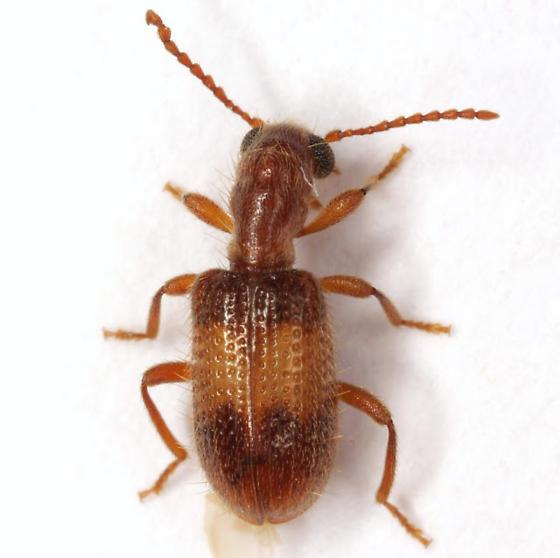 Cymatodera delicatula Fall - Cymatodera delicatula