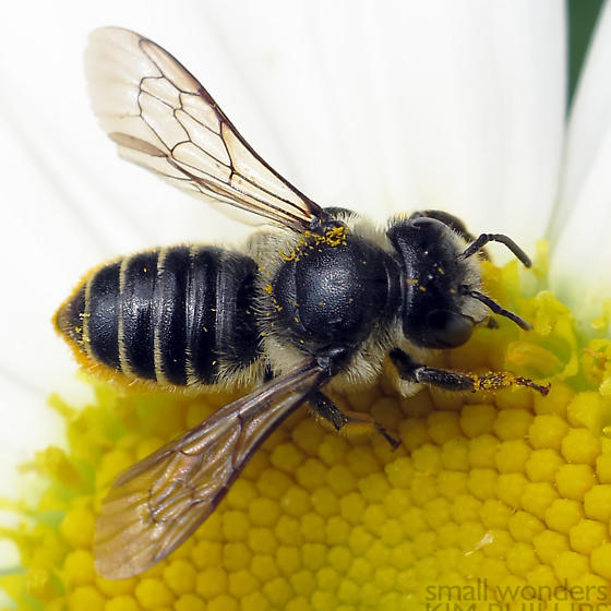 Megachile (Megachile) relativa? - Megachile relativa - female