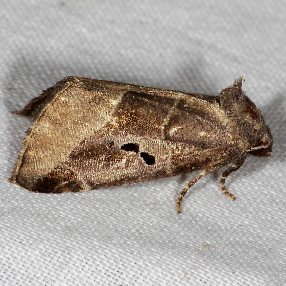 Black-barred Brown Moth - Plagiomimicus pityochromus