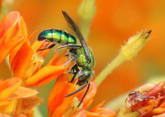 green bee - Augochlora pura