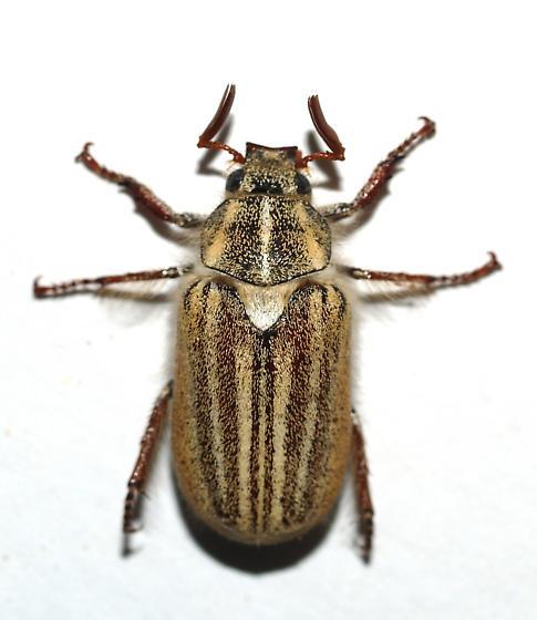 Small Polyphylla - Dinacoma marginata