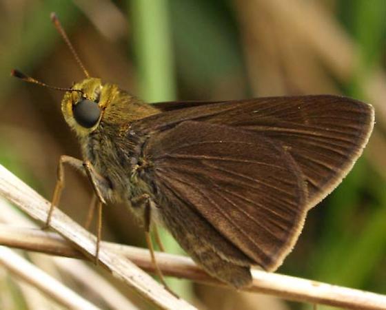 unidentified skipper - Euphyes vestris