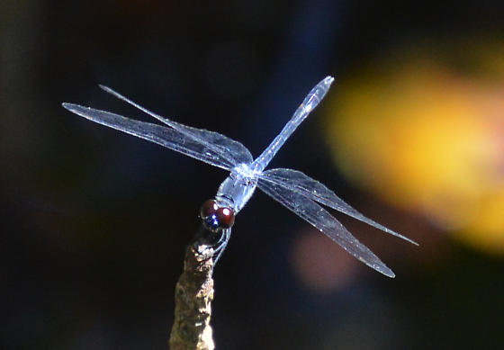 blue dragonfly - Erythrodiplax berenice - male