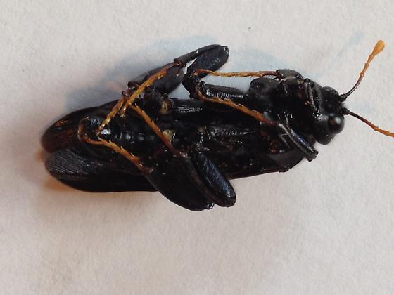 mydas fly - Cimbex americanus