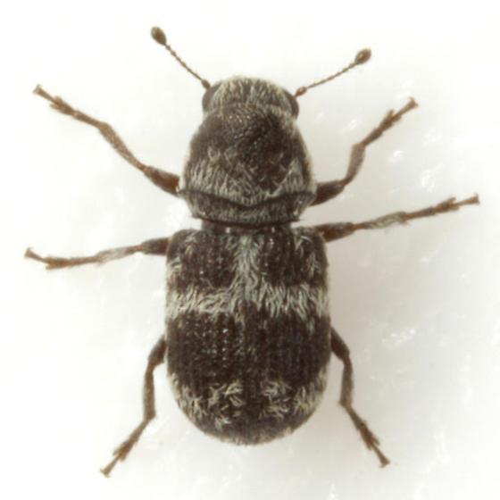 Ormiscus saltator LeConte - Ormiscus saltator