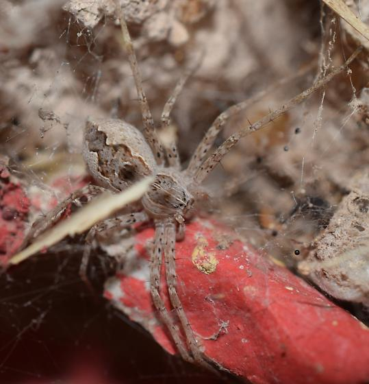 Nursery web spider - Tinus peregrinus