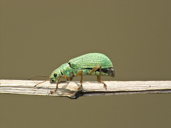 Green Bug - Polydrusus impressifrons