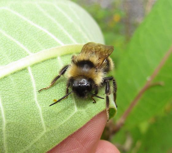 Bombus flavidus? - Bombus fernaldae