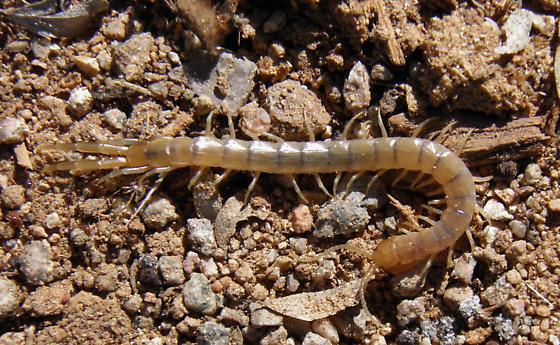 Centiped - Scolopendra