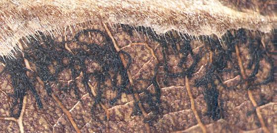 Buprestidae, Round headed Bush Clover, opened mine to frass - Pachyschelus laevigatus