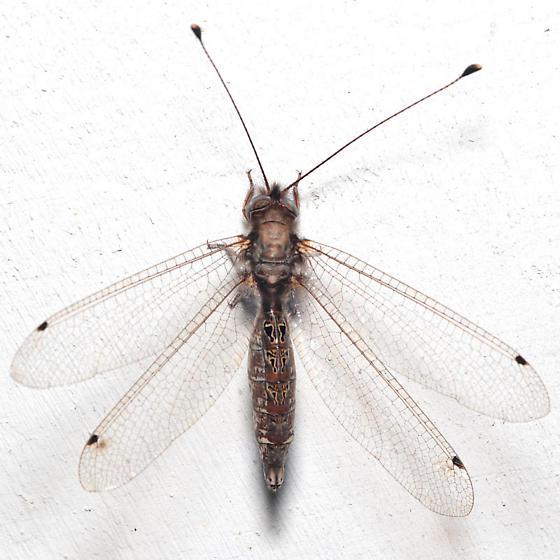 Ululodes macleayanus