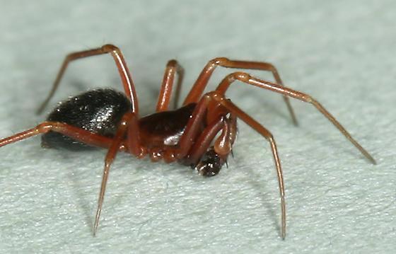 dwarf spider - Coreorgonal monoceros - male