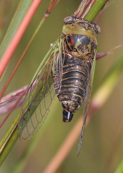 Plains Cicada - Neotibicen auriferus - male