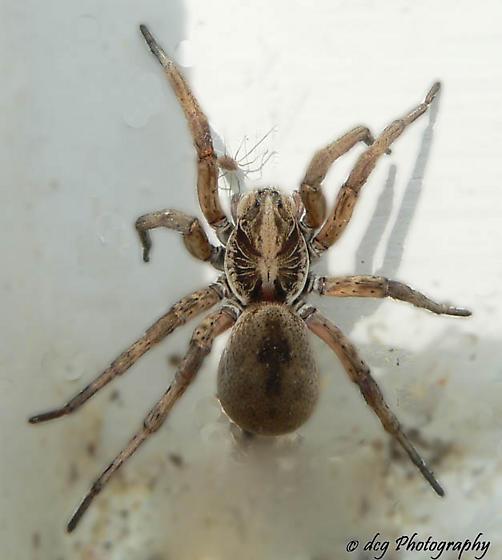 Big Fuzzy Brown Spider - Hogna