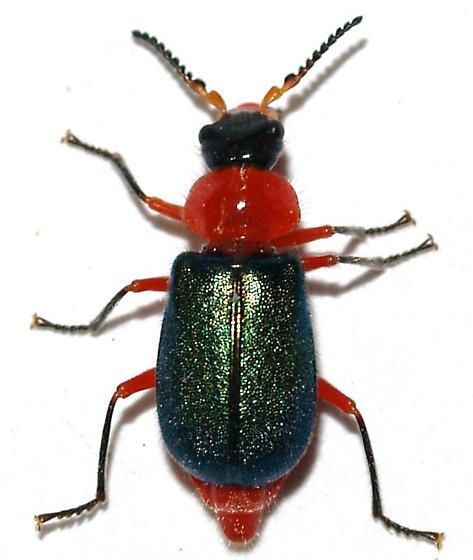 Melyridae - Collops grandis