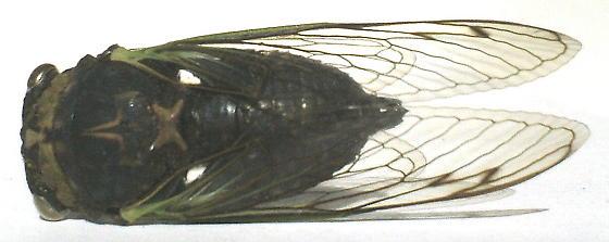 Cicada - Neotibicen tibicen - male