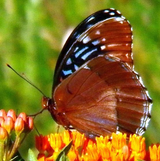 Diana fritillary - Speyeria diana - female